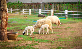 Sheep in farmers Stock Images
