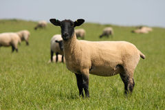 Sheep. In farmers field with  background Stock Photos
