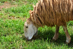 Sheep in farmers Royalty Free Stock Images