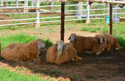 Sheep in farmers Royalty Free Stock Photography