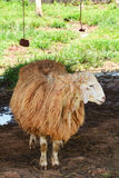Sheep in farmers Stock Image
