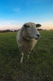 Sheep in farmers field. Sheep looks into the camera stock photography