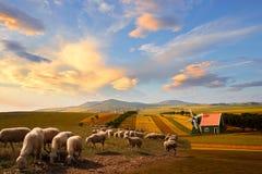 Sheep, farmhouse and crop fields in magical sunset, Zhangjiakou, Hebei, China