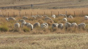 Sheep Farming Agriculture Rural Landscape Australia. Agriculture sheep farming in rural australia landscape stock footage