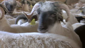 Sheep farming stock footage