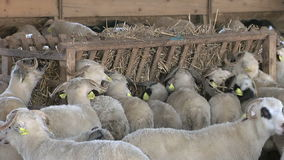 Sheep farming stock video