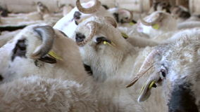 Sheep farming stock video footage