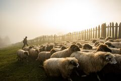 Free Sheep Farming In Romania, New Born Lamb At Shepherd House, Sustainable Farming In Transylvania Royalty Free Stock Photo - 179749095