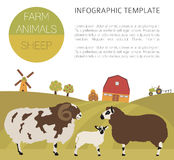 Sheep farming infographic template. Ram, ewe, lamb family Stock Photo