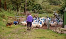 Sheep farming Ireland stock photos
