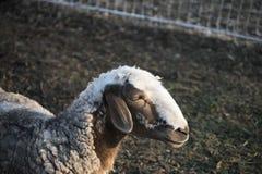 Sheep farming outdoor. Sheep. Sheep in nature. Sheep on meadow. Sheep farming. Sheep farming outdoor Stock Image