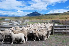 Sheep farming in Patagonian estancia Chili with landscape, clouds Sheeps walking out of fence Stock Photo