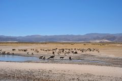 Sheep farming in the vastness of the Altiplano Royalty Free Stock Photo