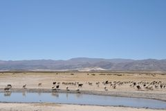 Sheep farming in the vastness of the Altiplano Royalty Free Stock Image