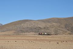 Sheep farming in the vastness of the Altiplano. Royalty Free Stock Photo