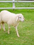 Sheep in farmland Stock Photos