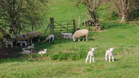 Sheep on Farmland Stock Photos