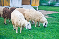 Sheep in the farmland Stock Photography