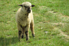 Sheep on the farmland green grass Royalty Free Stock Photos