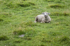 Sheep on farmland Royalty Free Stock Photo