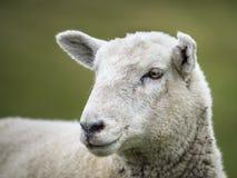 Sheep on farmland Royalty Free Stock Photography