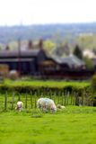 Sheep in farmland tilt and shift A Stock Images