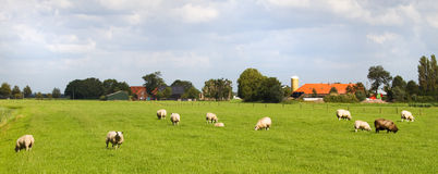 Sheep and farms in Dutch landscape. Dutch country landscape with farms and sheep on summer day Stock Photo