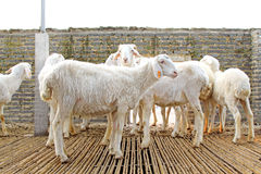 Sheep farms in Hebei Province Royalty Free Stock Photography