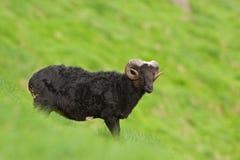 Sheep, Faroe island Stock Photography