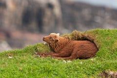 Sheep, Faroe island Stock Photos