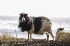 Sheep in Faroe island Royalty Free Stock Photo