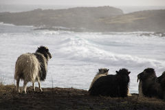 Sheep in Faroe island Royalty Free Stock Images