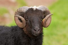 Sheep, Faroe island Stock Image