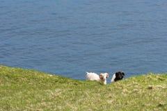 Sheep on the Faroe Islands Stock Image
