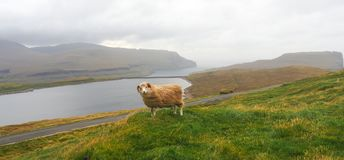 Sheep in the Faroe Islands, travel and tourism royalty free stock photography