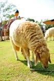 Sheep feed Royalty Free Stock Photo