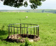 Sheep Feeder Stock Image