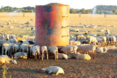 Sheep Feeding. Sheep and lambs are feeding and drinking from a small tower in a field on a farm ranch with livestock Stock Image