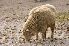 Sheep Feeding Stock Image