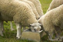 Sheep feeding. Several sheep feeding in trough Stock Images