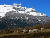 Sheep feeding Stock Photos