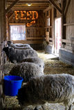 Sheep Feeding in Barn. Line of sheep feeding in a barn with feed sign in the background Royalty Free Stock Image