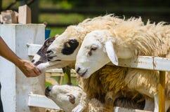 Sheep feeding Stock Image