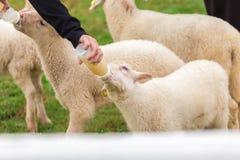 Sheep feeding. Close up child feeding milk bottle to cute sheep Royalty Free Stock Image