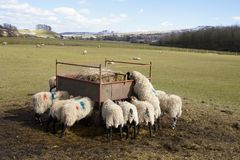 Sheep feeding. At a communal feeder filled with hay stock photo