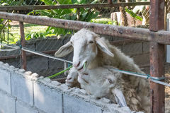 Sheep feeding in daylight. At zoo Stock Photos