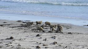Sheep feeding in the Falkland Islands. stock footage