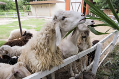 Sheep feeding in fence. Outdoor Stock Photography