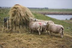 Sheep feeding in field Stock Photography