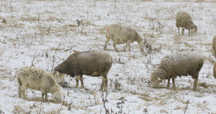Sheep feeding in field in snow. Some sheep feeding in field in snow Royalty Free Stock Image